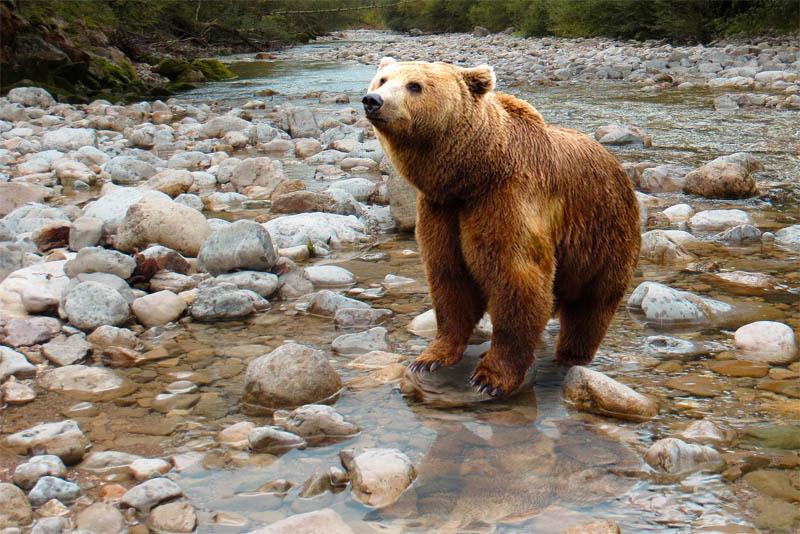 himalayan-brown-bear