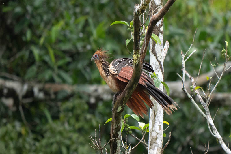 hoatzin-chicks-are-born-along-with-claws-on-their-wings