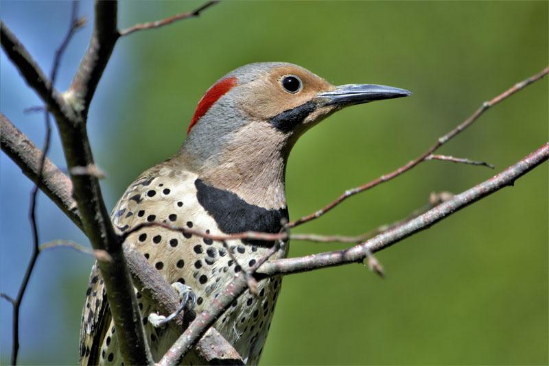 most-famous-woodpecker