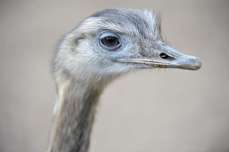 ostriches-have-large-eyes
