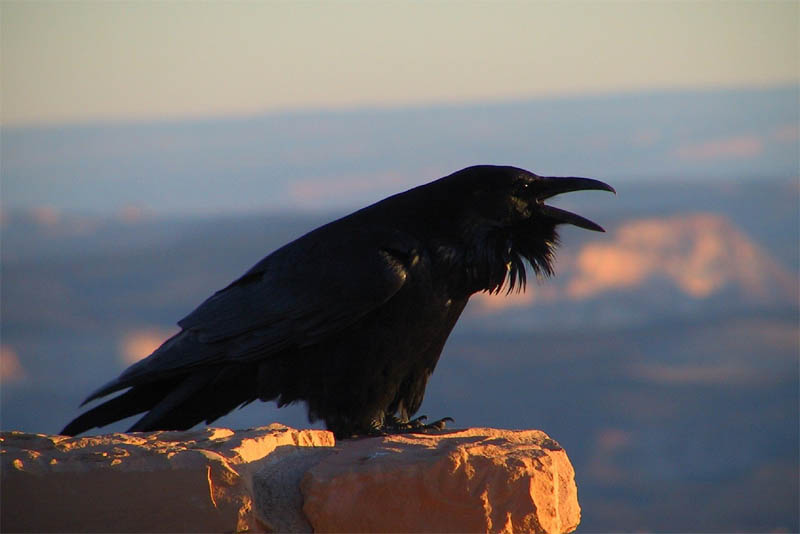 ravens-are-the-great-mimics