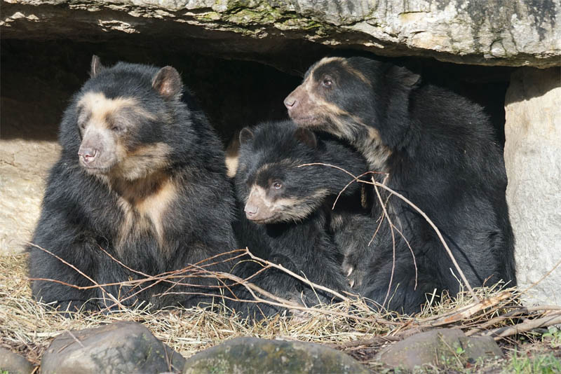 spectacled-bear