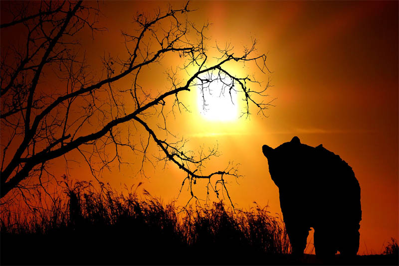 sun-bear