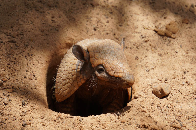 top-10-interesting-facts-about-armadillos