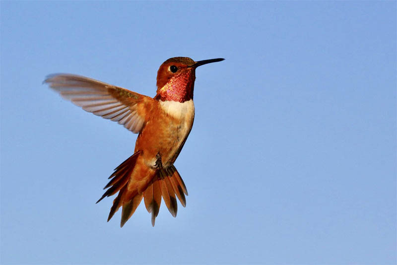 top-10-interesting-facts-about-hummingbirds