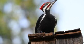 top-10-interesting-facts-about-woodpeckers
