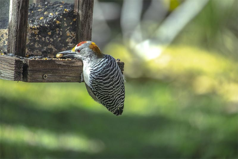 woodpeckers-also-love-nuts