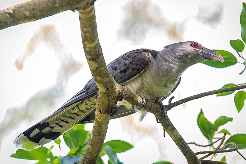 channel-billed-cuckoo