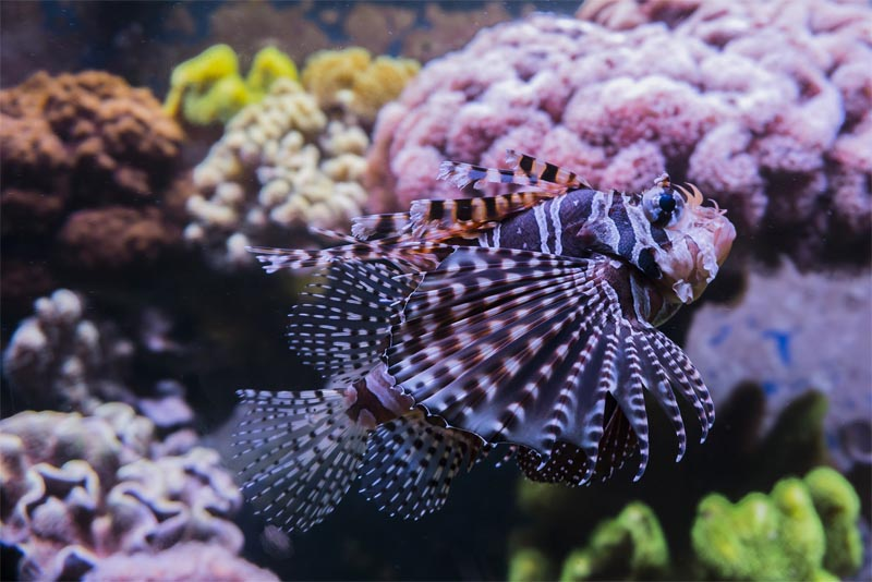 the-red-lionfish