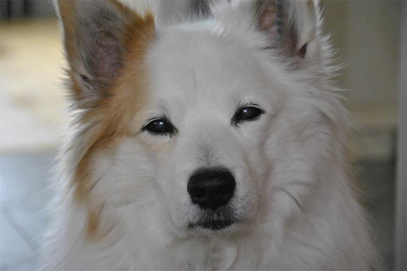 icelandic-sheep-dog