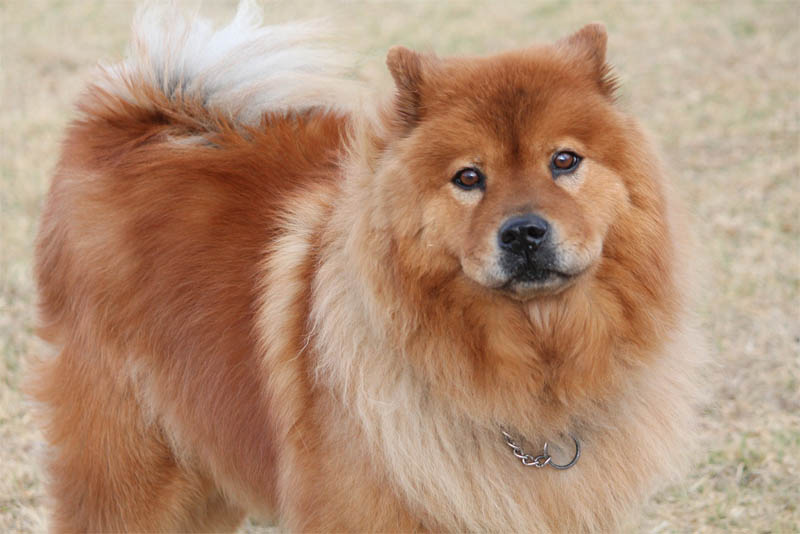 the-chow-chow
